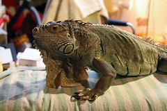 Photo of the day: 10.4.2018 (House Of Secrets Incorporated) Tags: photooftheday photooftheday2018 aphotoaday2018 dailyphoto dailyphoto2018 dailyphotography dailyphotography2018 dailyphotograph shinto iguana iguanaiguana greeniguana lizard lizards reptile reptiles animal animals pets blog blogger blogging kittensandsteamlivejournalcom kittensandsteamblogspotcom instagramkittensandsteam twitterhildebcm belgianblogger