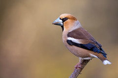 Hawfinch - Kernbeißer ♂ (rengawfalo) Tags: coccothraustescoccothraustes kernbeiser vogel vögel bird nature natur wildlife outdoor hawfinch kernbeisser animal
