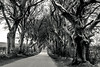 The Dark Hedges (KrolopFoto.de) Tags: thedarkhedges nordirland northernireland bregaghroad ballymoney d7200 nikon krolopfoto krolop blackandwhite noiretblanc photonoiretblanc schwarzweis ambiance ambience stimmung sw bw arbre arbres baum bäume weg strase road avenue tree trees