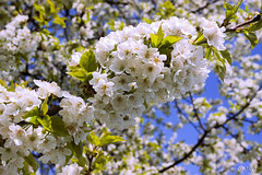 A cherry branch covered by clumps of blossoms (adp_cz) Tags: e0001 agriculture backgrounds bloom blooming blossom blue botanical botany branch bright bud cherry clear closeup color colorful day delicate detail environment farm flora floral fragility fresh freshness garden gardening grow growth leaf light may natural new olivegreen orchard outdoor park petal plant season sky spring summer sunny tree vegetation white yellow