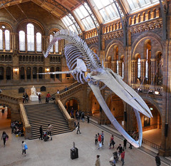 Natural History Museum, London: Whale Skeleton (roger.w800) Tags: naturalhistorymuseum london nhmlondon museum nature naturalhistory whale bones skeleton exhibit skeletonexhibit sealife