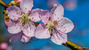 Pink macro (Milen Mladenov) Tags: 2018 resco blooming blossom closeup flowers garden macro nature naturephotography peach peachblossom spring