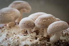 Shiitake on Sawdust (siraf72) Tags: shiitake homegrown sawdust mushroom cultivation