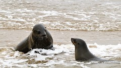 Small Talk (marionkaminski) Tags: namibia afrika africa swakopmund walvisbay animal animali dieren seelöwe wasser ocean panasonic lumixfz1000 seelöwen
