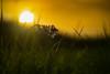 In the last light of the day (VintageLensLover) Tags: wiese wiesenschaumkraut sonnenuntergang frühling april bokeh schärfentiefe bokelicious schärfeverlauf dof sonne primoplan meyergörlitz
