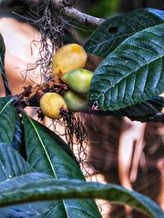 Loquat- Japanese Plums (Chris C. Crowley- BUSY will be off most of May!) Tags: loquatjapaneseplums sugarmillgardens plums fruit botanical vegetation tree leaves plant portorangeflorida nature outdoors