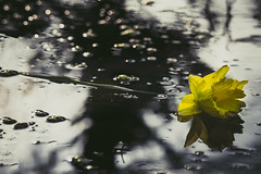 Element of melancholy (A.Dissing) Tags: white black art light dark contrast a7 a7ii a7m2 sony anders dissing masterpiece super detail fantastic good positive photo pixel mm creative beautiful color composition moment europe artistic other danish denmark danmark different exposure enjoy young unique weather scene awesome dope angle perfect perspective interesting element melancholy sadness depression flower daffodil