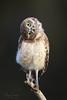 """I tried to see things your way.  You're still an idiot."" (Megan Lorenz) Tags: burrowingowl owl owlet bird avian birdofprey tiltinghead headtilt curiousnature wildlife wild wildanimals florida mlorenz meganlorenz"