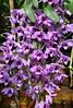 Orchids at Cai Be town, Vietnam. (One more shot Rog) Tags: vietnam vietnamese village saigon mekong mekongriver slower flowers orchid orchids colour caibe