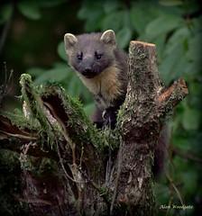 Pine Marten (Martes martes) (Alan Woodgate) Tags: rare marten scotland wild pinemarten nikon d500