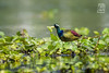 Bronze Winged Jacana (spmitra photography) Tags: spmitraphotography birdphotography wildlifephotography nature indianbirds indianwildlife iidaa india swamp bronzewingedjacana jacana colors migratorybirds