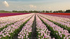 Tulips in Roosendaal, The Netherlands (Ruud.) Tags: ruudschreuder nikon nikond810 d810 noordbrabant brabant roosendaal brabantslandschap northbrabant netherlands nispen everlanden dutchlandscape landscape landschap paisajes paysage landschaft gouden uur golden hour bollen bloembollen tulpen tulpenbol bollenveld bloem flower blomst blume kukka fleur bunga fiore flos flor blomma tulp tulip tulipan tulpe tulppaani tulipe tulipano tulipanus tulipa tulipán lale tulpan natuur nature natur