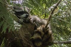 Shh, the baby is sleeping! (lamoustique) Tags: raccoon northamericanraccoon northernraccoon ratonlaveur procyonlotor salmoncreek vancouver washington usa commonraccoon
