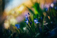 #198 - Squills / Ladoňky (photo.by.DK) Tags: squill squills scilla ladoňka ladonka spring springbloom flower springtime bokeh bokehlicious beyondbokeh helios helios103 helios1035318 helioslens oldlens manuallens manualfocus manual manualondigital vintage vintagelens legacylens contax contaxrf contaxkiev contaxmount sonya7 sonyilce sony sonyalpha sonya7ii shotwideopen wideopen wideopenbokeh artbydk photobydk