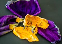 At the edge of a petal (risaclics) Tags: 60mm 7dfw april2018 nikond610 flora flowers macro petals separatepetals smileonsaturday