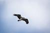 Osprey (Beppie K) Tags: osprey bird seabird portmacquarie newsouthwales australia biripicountry