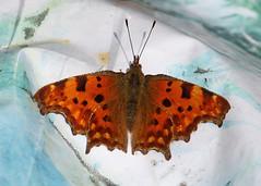 Earl(e)y Comma (Treflyn) Tags: early comma butterfly back garden earley reading berkshire uk