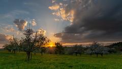 Fruit trees at sunset / Obstbäume beim Sonnenuntergang (NEX69) Tags: cantonoflucerne kantonluzern schweiz sigma1424mm128dg sonyalpha7rii switzerland sigmamc11 mc11 ebersecken obstbaum fruittree spring frühling sunset sonnenuntergang