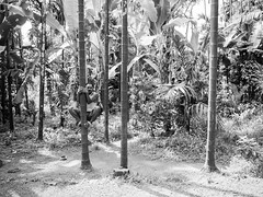 P4051166 (NorthernJoe) Tags: goa spice plantation tree climb worker black white india olympus