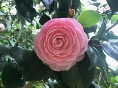 Camélia (JCOrlianges) Tags: camélia fleur botanique limoges jardindumoulinpinard