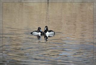 [][][] Ring-Necked Duck Duet [][][]