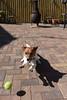 Jumpin Jake Flash (Derot558) Tags: jackrussell jumping jump jake fun ball