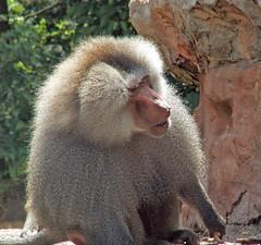 Baboon (Cornishcarolin. Stupid busy!! xx) Tags: devon httpswwwpaigntonzooorguk baboons animals nature