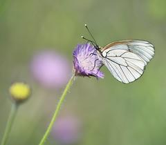 Black veined white (Kees499  Nature pics) Tags: butterfly grootgeaderdwitje blackveinedwhite keesmolenaar nikon d810 afs300f4pf lesvosisland lesbos nature vlinder