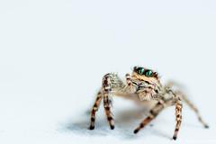 T'as de beaux yeux :) (Quentin Douchet) Tags: araignée faune jumpingspider macrophotographie nature salticidae animal araignéesauteuse fauna macro macrophoto spider