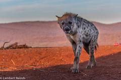 Angry!! (Lambert Reinds) Tags: hyena zimanga wildlifeafrica