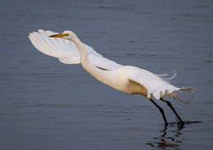 Take-off (tresed47) Tags: 2018 201804apr 20180412bombayhookbirds april birds bombayhook canon7d content delaware egret folder greategret peterscamera petersphotos places season spring takenby us ngc