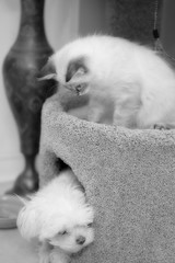 """Is she gone?"" (Irina Valeria) Tags: siberian neva masquerade kitty cat maltese dog pet animal white kitten cute cathouse hiding"