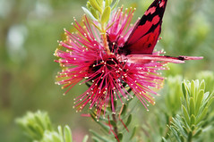Perfect Match (el-liza) Tags: nature outdoor outside flora plant flower blossom blooming macro closeup butterflies tropical red czerwony vibrant vivid colourful motyl simply superb