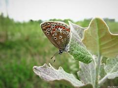 Butterfly 1653 (+1200000 views!) Tags: butterfly borboleta farfalla mariposa papillon schmetterling فراشة