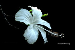 Hibisco/Hibiscus/Cayena (Altagracia Aristy Sánchez) Tags: hibisco hibiscus cayena laromana quisqueya repúblicadominicana caribe caribbean antillas antilles trópico tropíc américa fujifilm finepix hs10p fujihs10 altagraciaaristy fujifilmfinepixhs10 fujifinepixhs10 dominicanrepñublic