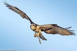 Eastern Osprey, Hervey Bay, Australia