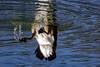 I ... can do it ! (mariola aga) Tags: river water ripples bird bath flippedover upsidedown underwater illusion closeup nature funshot reflection