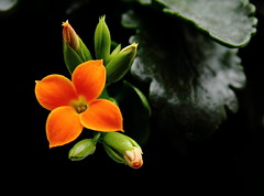 First to Bloom (Paul Bagshaw ---- UK) Tags: orange colours nature 60d eos canon houseplant flowers