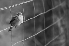 I always wonder why birds stay in the same place... (Dikke Biggie.) Tags: happyfencedfriday fencedfriday hff ff fence fenced fencing hek hekwerk omheining friday vrijdag bird vogel sparrow mus musje blackandwhite bw black white zwartwit zw zwart wit monochrome monochroom dof depthoffield scherptediepte bokeh canon canoneos450d 100mm f28 square squares vierkant vierkanten dgawc canonnl