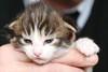 NL* Titran's Orlando male kitten black tabby spotted & high white n 03 24 17 days old (Titran's Norsk Skogkatt) Tags: nfo cat chat kitten chaton titran titrans norvégien noor norweger boskat waldkatze norge norway