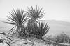 _DSC7134 (andrewlorenzlong) Tags: joshua tree national park joshuatree joshuatreepark joshuatreenationalpark california desert ryan mountain