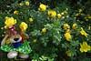 El espectáculo de la Naturaleza. (Caty V. mazarias antoranz) Tags: nature naturaleza flores flowers multicolor colorido colores primavera verdor espectáculonatural sorprendente asombroso mágico luminoso rosasamarillas rosalenano cuajadodeflores yellowroses dwarfrose flowerarrangement