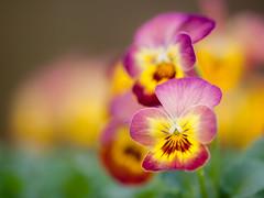Pansy - viooltjes - violet - Stiefmütterchen (de_frakke) Tags: lente spring flower bloem viooltje pansy violet stiefmütterchen violeta