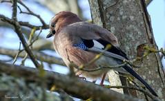 Geai des chênes - Garrulus glandarius (14) (Ezzo33) Tags: france gironde nouvelleaquitaine bordeaux ezzo33 nammour ezzat sony rx10m3 parc jardin oiseau oiseaux bird birds eurasian jay geai des chênes garrulus glandarius
