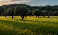 Last Light of Evening (Peter Quinn1) Tags: barley orchard evening sunset mallorca pollenca olives olivegrove