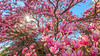 Beautiful Magnolia Flowers (AkshayDeshpande) Tags: magnolia flowers spring 2018 united states national arboretum washington dc usa us starburst blossom bloom colors canon rebel t3i landscape sky nature travel explore