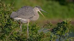 Great Blue Heron (Ardea herodias) (ER Post) Tags: bird florida2018 greatblueheronardeaherodias heron trips venice florida unitedstates us