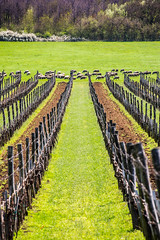 The team (forceberg) Tags: grape wine tihany balaton hungary sheep grass road wood animal tree herd nikon dslr d600 fx nikkor 28300vr spring green white
