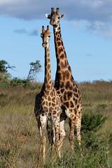 Giraffe in Nambiti-4-1 (johnaalex) Tags: d850 nambiti esiweni nikonafs80400f4556g safari africa southafrica giraffe
