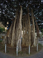 Banyan Tree root network (bukk05) Tags: banyantree trees tree epiphyte ficusbenghalensis ficus ficuscarica ficusmicrocarpa ficuspertusa world explore export earth tourist tourism travel figtree usa unitedstatesofamerica international photograph photo light landscape hawaii honolulu waikiki waikīkī waikīkībeach waikikibeach honolulucounty holiday gopro goprohero4silver hero4 silver flickr spring america 2018 root roots treeroots nature plants plant